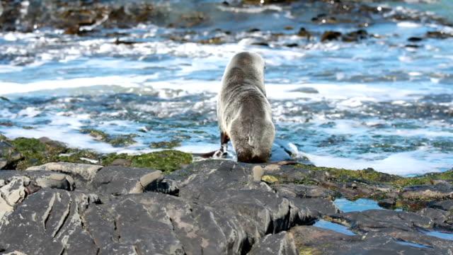 vídeos y material grabado en eventos de stock de south american fur seal returning to the sea (arctocephalus australis) falkland islands - foca peluda del cabo