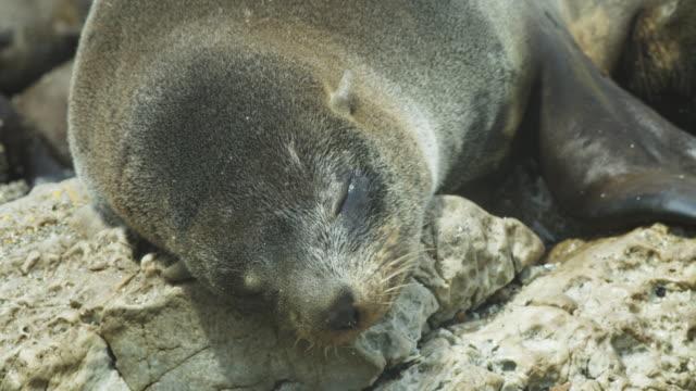 vidéos et rushes de cu south american fur seal suckling pan to pup - otarie à fourrure