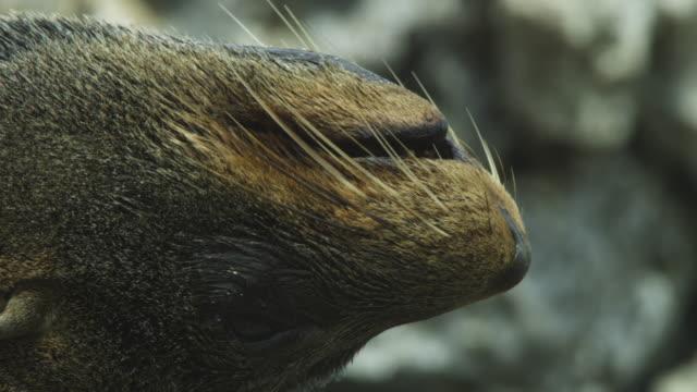 vidéos et rushes de ecu south american fur seal upside down then rolls over - otarie à fourrure