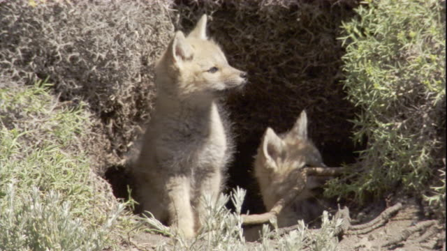 South American grey fox cubs play in the entrance of their den. Available in HD.