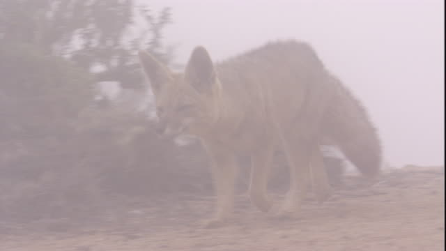 a south american grey fox trots through a desert mist before sitting down, atacama, chile. available in hd. - sitting stock videos & royalty-free footage
