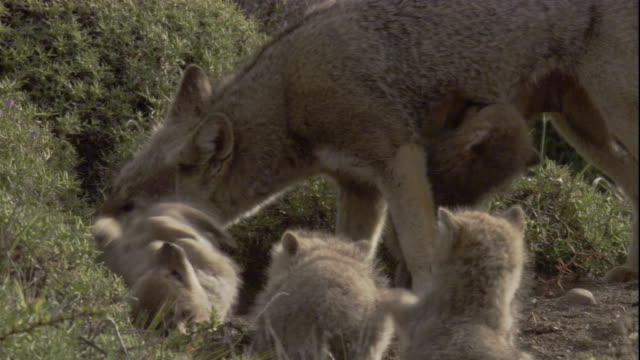 a south american grey fox with her pups. available in hd. - loch stock-videos und b-roll-filmmaterial