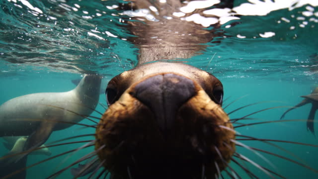 south american sea lion looking straight as the camera, nuevo gulf, valdes peninsula, argentina. - robbe stock-videos und b-roll-filmmaterial
