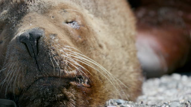 south american sea lion - sea lion stock videos & royalty-free footage