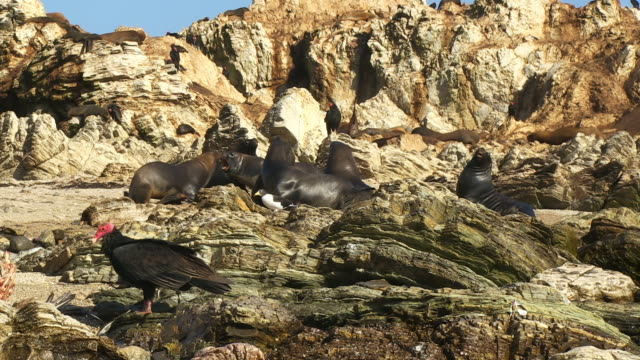 ws south american sealions fight on rocks with turkey vultures feeding in foreground - group of animals stock videos & royalty-free footage