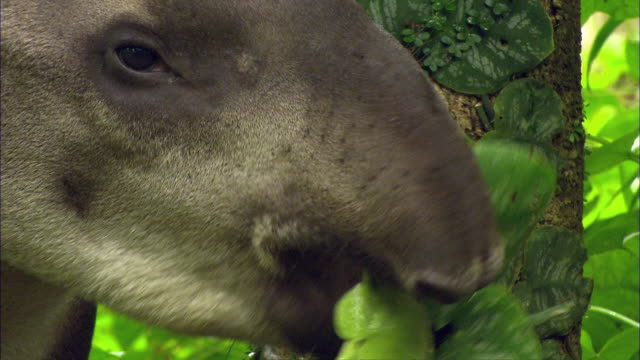 cu south american tapir (tapirus terrestris) chewing and eating green leaves in amazon jungle / cuzco region, peru  - mammal stock videos & royalty-free footage