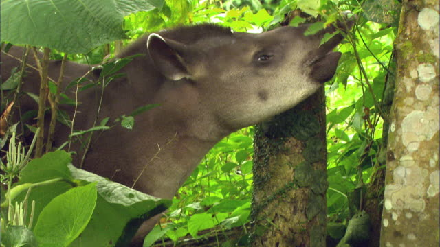 cu tu south american tapir (tapirus terrestris) chewing and eating green leaves in amazon jungle / cuzco region, peru  - south america stock videos & royalty-free footage