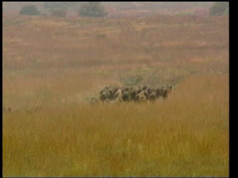 herd of buffalo stampeding - stampeding stock videos & royalty-free footage