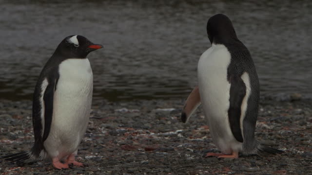 south georgia island, 2015 - gentoo penguin stock videos and b-roll footage
