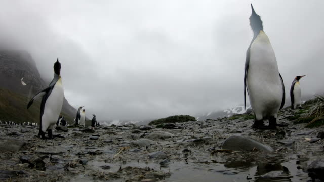 vidéos et rushes de south georgia penguin--colonie de manchot - manchot