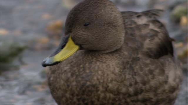 stockvideo's en b-roll-footage met cu, south georgia pintail duck on pebbled beach, south georgia island - atlantische eilanden