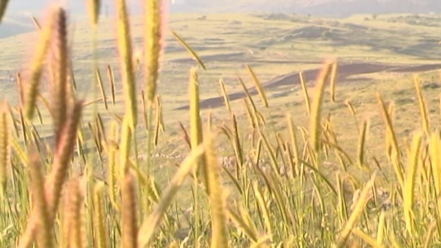 south lebanese landscape. low angle shot of a grassy hillside and an olive tree. a light breeze is moving the tall, wheat like, grass. - surface level stock videos & royalty-free footage