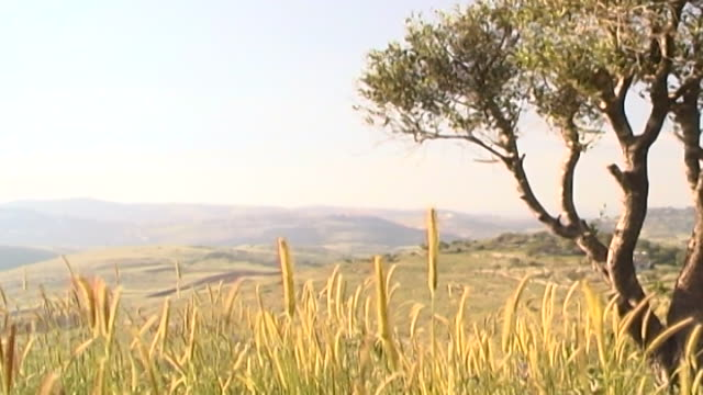 south lebanese landscape. low angle shot of a grassy hillside and an olive tree. a light breeze is moving the tall, wheat like, grass. the distant... - surface level stock videos & royalty-free footage