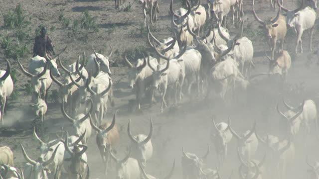 vídeos de stock, filmes e b-roll de south sudan : cattle herd - sudão