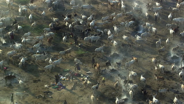 south sudan : cattle herd - bovino video stock e b–roll