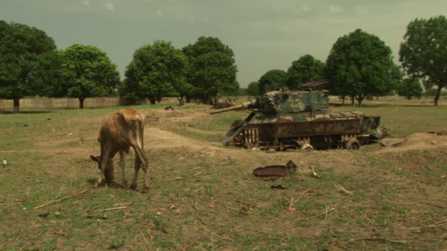 vídeos de stock, filmes e b-roll de south sudan cow in field with a disused tank - sudão