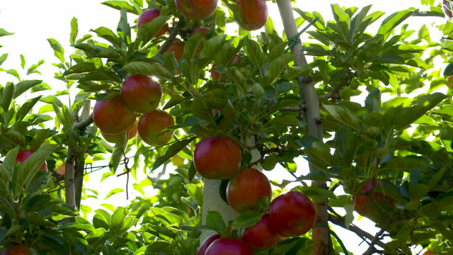 south tyrolean apple producing region - cucumber stock videos & royalty-free footage