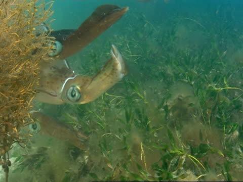 southern calamari squid swim through aquatic plants. - mollusc stock videos & royalty-free footage