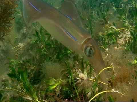 a southern calamari squid swims backwards through aquatic plants. - mollusc stock videos & royalty-free footage