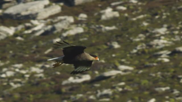 vídeos de stock, filmes e b-roll de slomo southern crested caracara glides and lands on grass - ilhas do oceano atlântico