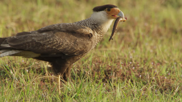 Southern crested caracara (Caracara plancus) holds autotomized tail of lizard in beak.