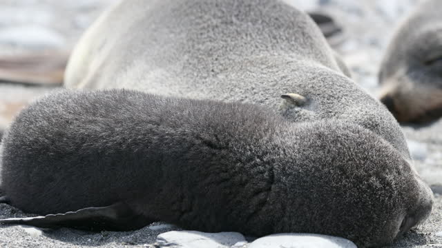 southern elephant seal adult and puppy lying down - südlicher seeelefant stock-videos und b-roll-filmmaterial