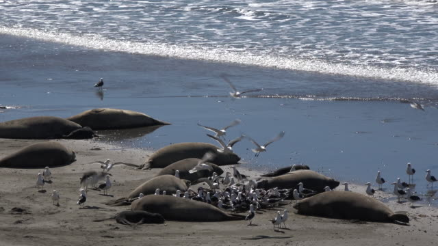 Southern elephant seal birth in Patagonia