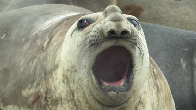 cu, southern elephant seal (mirounga leonina) bull vocalizing and breathing fogs in cold air, headshot, south georgia island, falkland islands, british overseas territory - elefante marino del sud video stock e b–roll