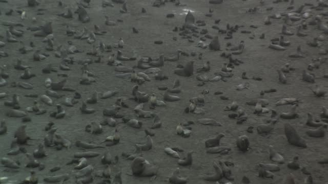 zo, ws, ha, southern elephant seal (mirounga leonina) colony on beach, south georgia island, falkland islands, british overseas territory - südlicher seeelefant stock-videos und b-roll-filmmaterial