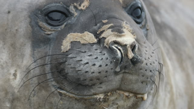 southern elephant seal face, molting - elefante marino del sud video stock e b–roll