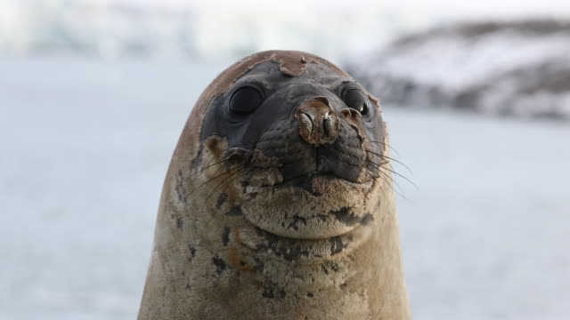 southern elephant seal face, molting - seal animal stock videos and b-roll footage