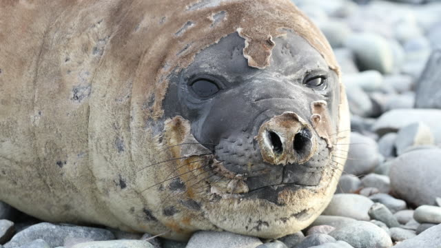 southern elephant seal face, molting - südlicher seeelefant stock-videos und b-roll-filmmaterial