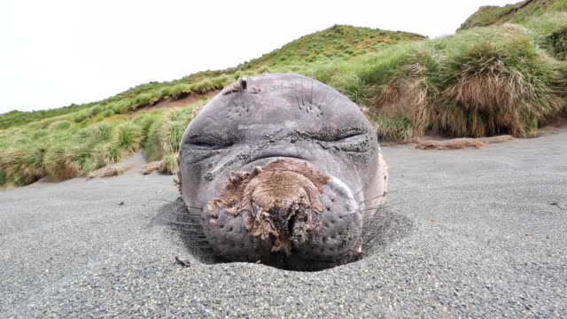 southern elephant seal, front on view, with breathing sounds, macquarie island - elefante marino video stock e b–roll