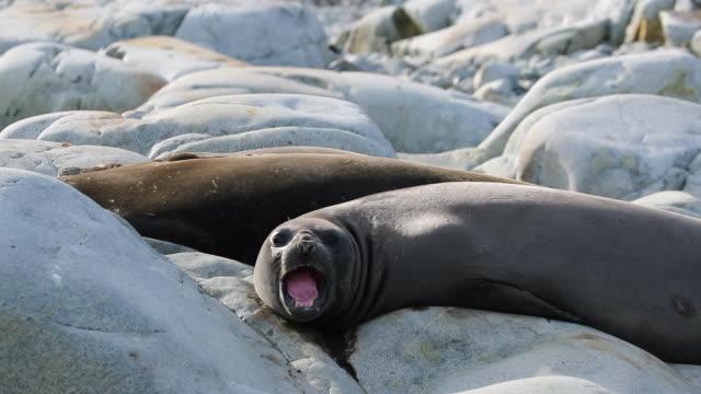stockvideo's en b-roll-footage met southern elephant seal in antarctica - mond open