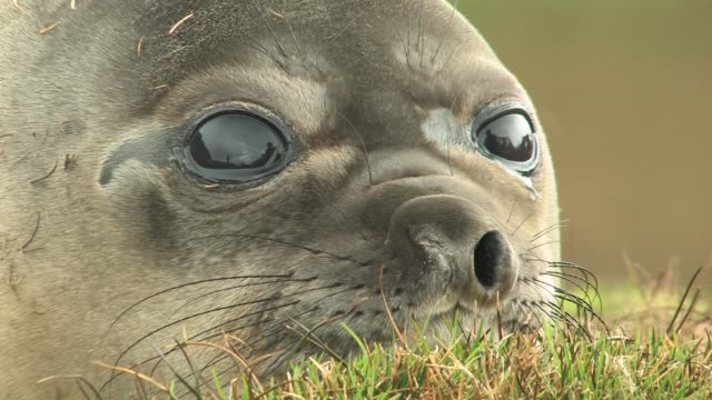 ecu, southern elephant seal (mirounga leonina) lying in grass, headshot, south georgia island, falkland islands, british overseas territory - elefante marino del sud video stock e b–roll