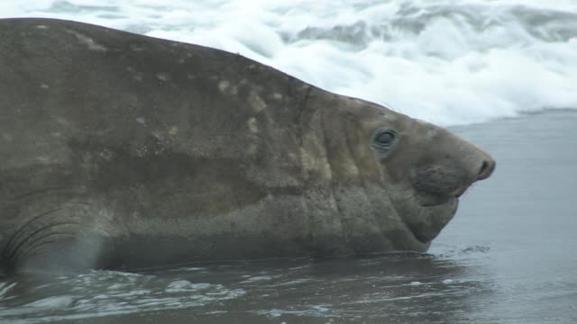 cu, southern elephant seal (mirounga leonina) lying in surf vocalizing, headshot, south georgia island, falkland islands, british overseas territory - elefante marino del sud video stock e b–roll