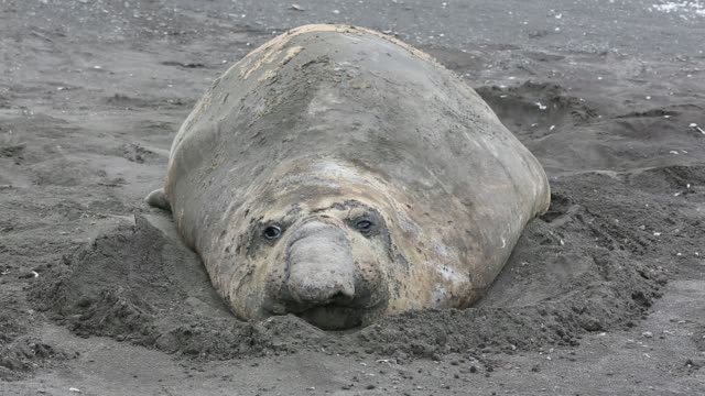 vídeos y material grabado en eventos de stock de a southern elephant seal; mirounga leonina, at hannah point, on livingston island in the south shetland islands off the antarctica peninsular. - elefante marino del sur