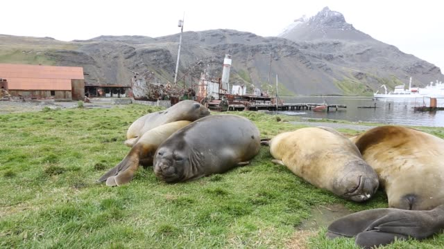 southern elephant seal mirounga leonina in grytviken south georgia antarctica with an old whaling ship behind - südlicher seeelefant stock-videos und b-roll-filmmaterial