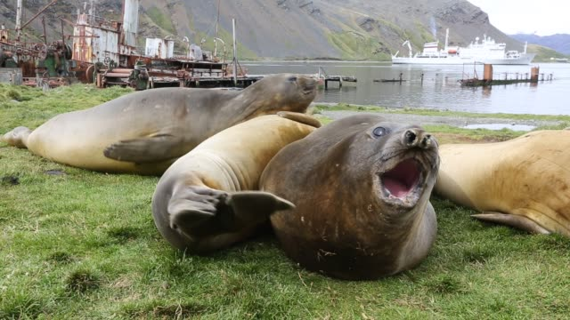 southern elephant seal; mirounga leonina, in grytviken south georgia, antarctica, with an old whaling ship behind. - animal fin stock videos & royalty-free footage