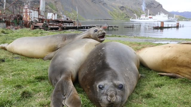 southern elephant seal; mirounga leonina, in grytviken south georgia, antarctica, with an old whaling ship behind. - 飼い慣らされた点の映像素材/bロール