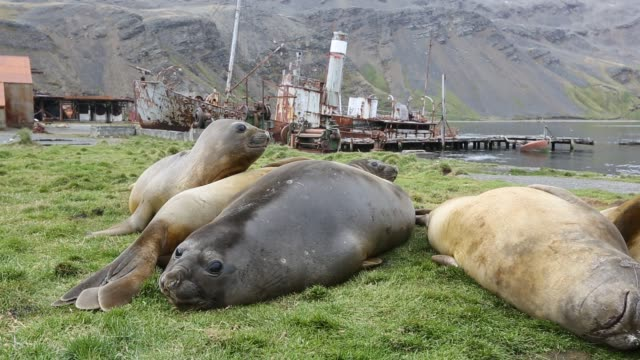 southern elephant seal; mirounga leonina, in grytviken south georgia, antarctica, with an old whaling ship behind. - southern elephant seal stock videos & royalty-free footage