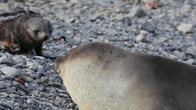 southern elephant seal; mirounga leonina, on prion island, south georgia, antarctica. - southern elephant seal stock videos & royalty-free footage