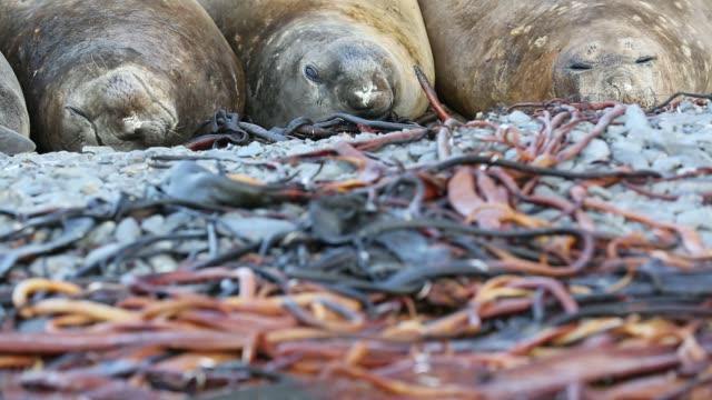 vídeos y material grabado en eventos de stock de southern elephant seal; mirounga leonina, on prion island, south georgia, antarctica. - elefante marino del sur
