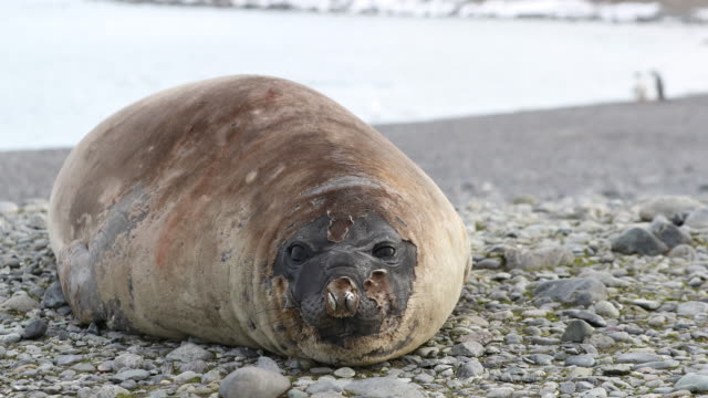 southern elephant seal, molting on the beach - elefante marino del sud video stock e b–roll