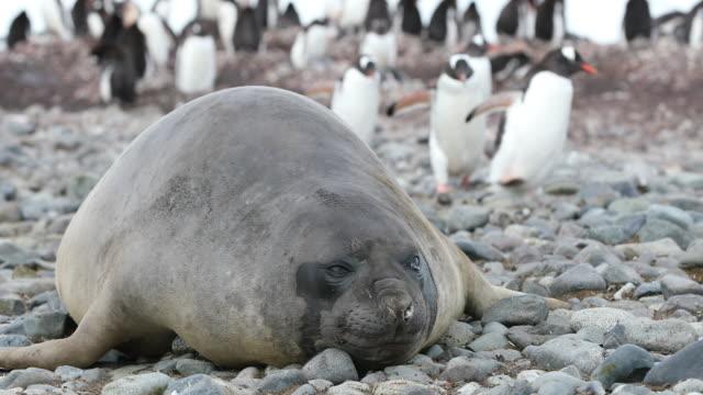 vídeos de stock, filmes e b-roll de southern elephant seal, molting on the beach - elefante marinho do sul