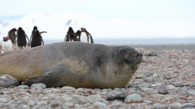 stockvideo's en b-roll-footage met southern elephant seal moving across land in slow motion. - zeehond