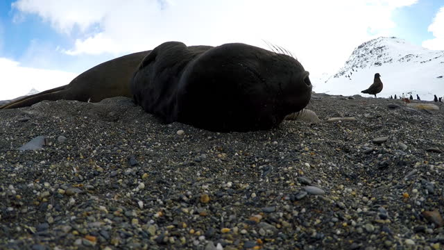 slomo cu southern elephant seal pup  breathing heavily and sleeping on beach very close to camera - southern elephant seal stock videos & royalty-free footage