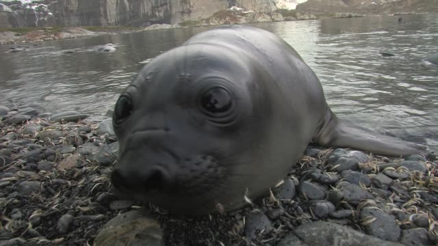 cu, southern elephant seal (mirounga leonina) pup lying on pebbles at water's edge, south georgia island, falkland islands, british overseas territory - seal pup stock videos & royalty-free footage