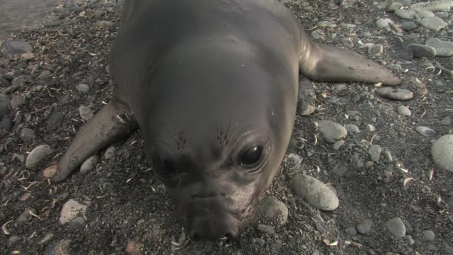 cu, ha, southern elephant seal (mirounga leonina) pup lying on pebbles, headshot, south georgia island, falkland islands, british overseas territory - seal pup stock videos & royalty-free footage