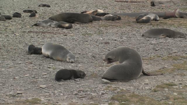 ms, southern elephant seal (mirounga leonina) puppies and cows on pebbled beach, south georgia island, falkland islands, british overseas territory - southern elephant seal stock videos & royalty-free footage